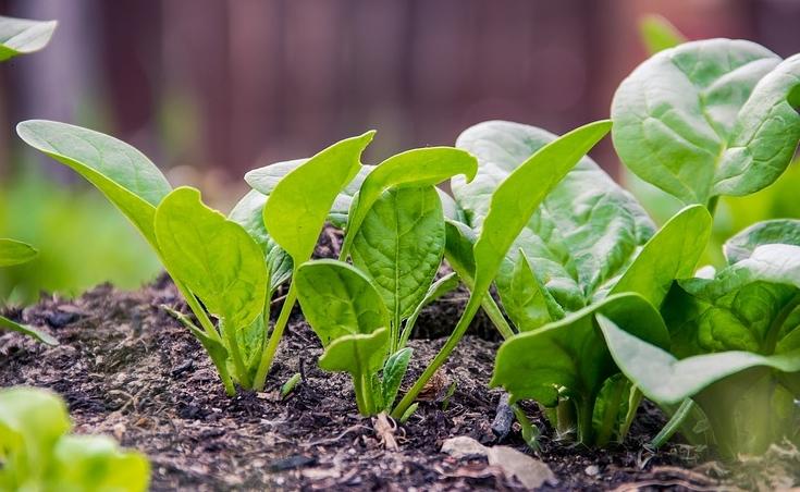 Spinat er blandt de fødevarer, der har et meget højt indhold oxalsyre