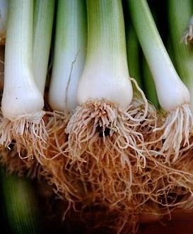 Porrer og forårsløg kan dyrkes fra rodstykker som plantes ud i potter eller i haven.