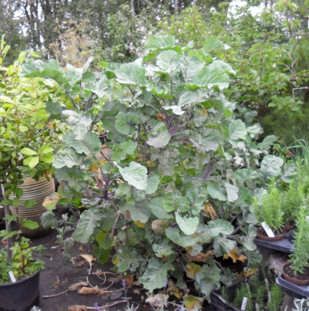 Engelsk trækål giver spiselige kålblade det meste af året
